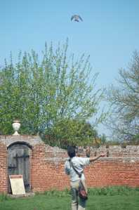A small falcon flies high above the falconer in the falconry display