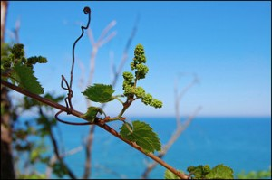 'Vine on the Dunes' by Tom Gill on Flickr. Some rights reserved.