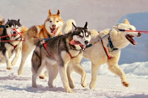 Running huskies